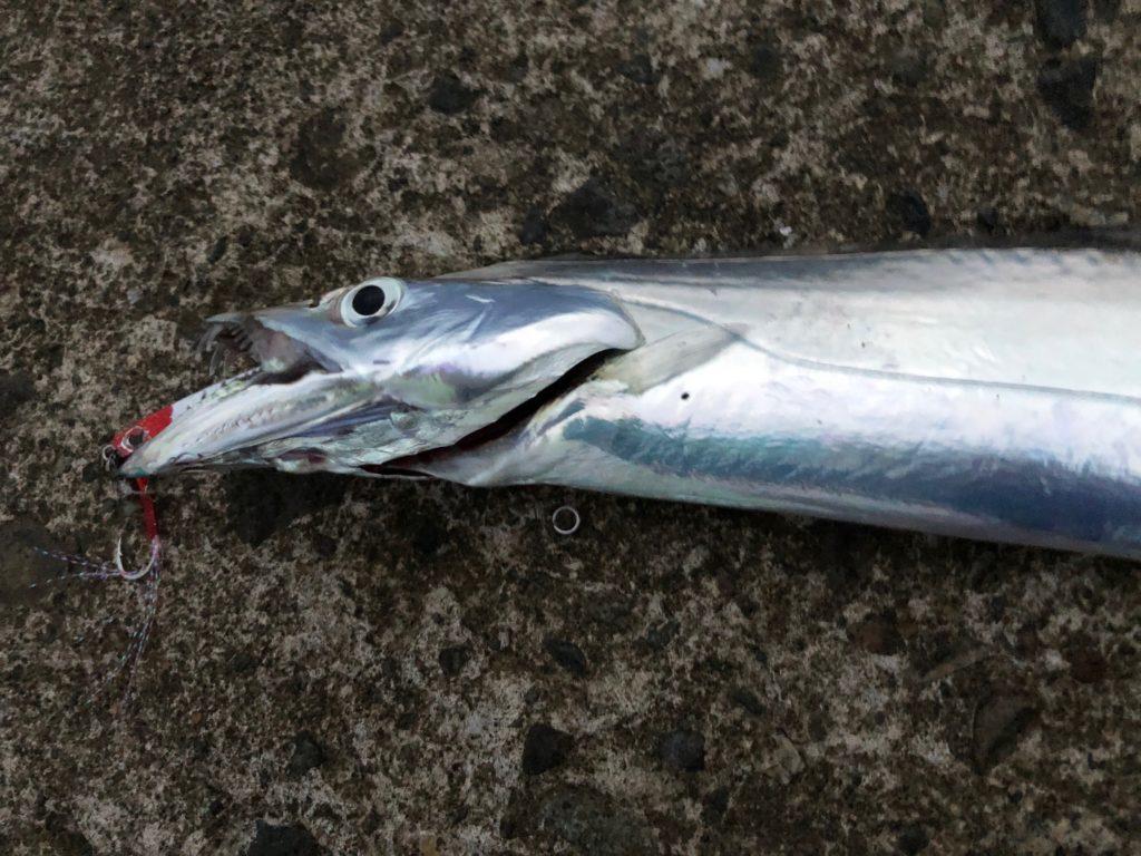 ルアーニスト太刀魚